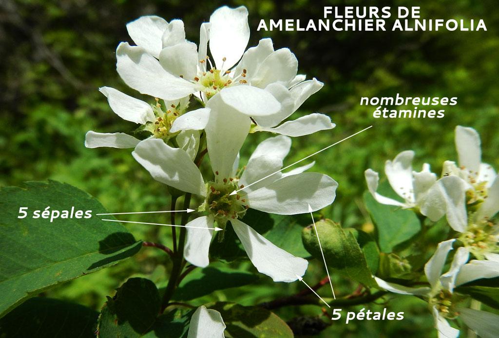 Fleur Amelanchier alnifolia