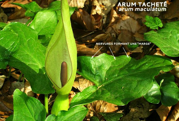 Arum tacheté - Arum maculatum