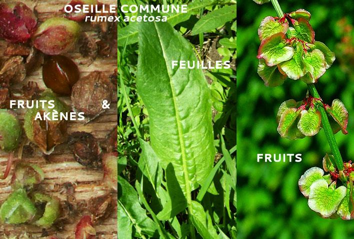 Oseille commune - Rumex acetosa